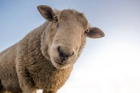 Best Lessons of Leadersheep. Baa None!